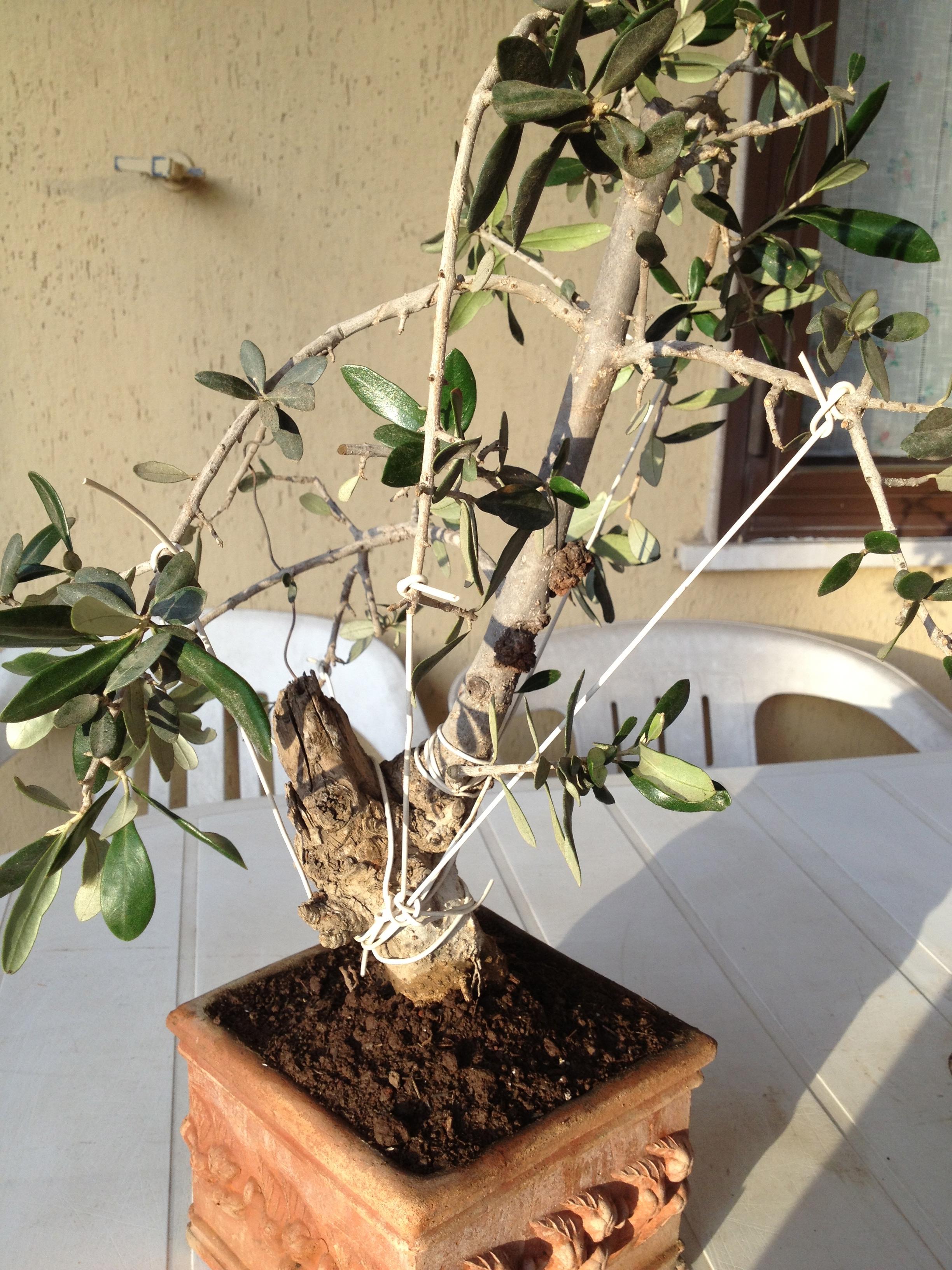 bonsai ulivo secco