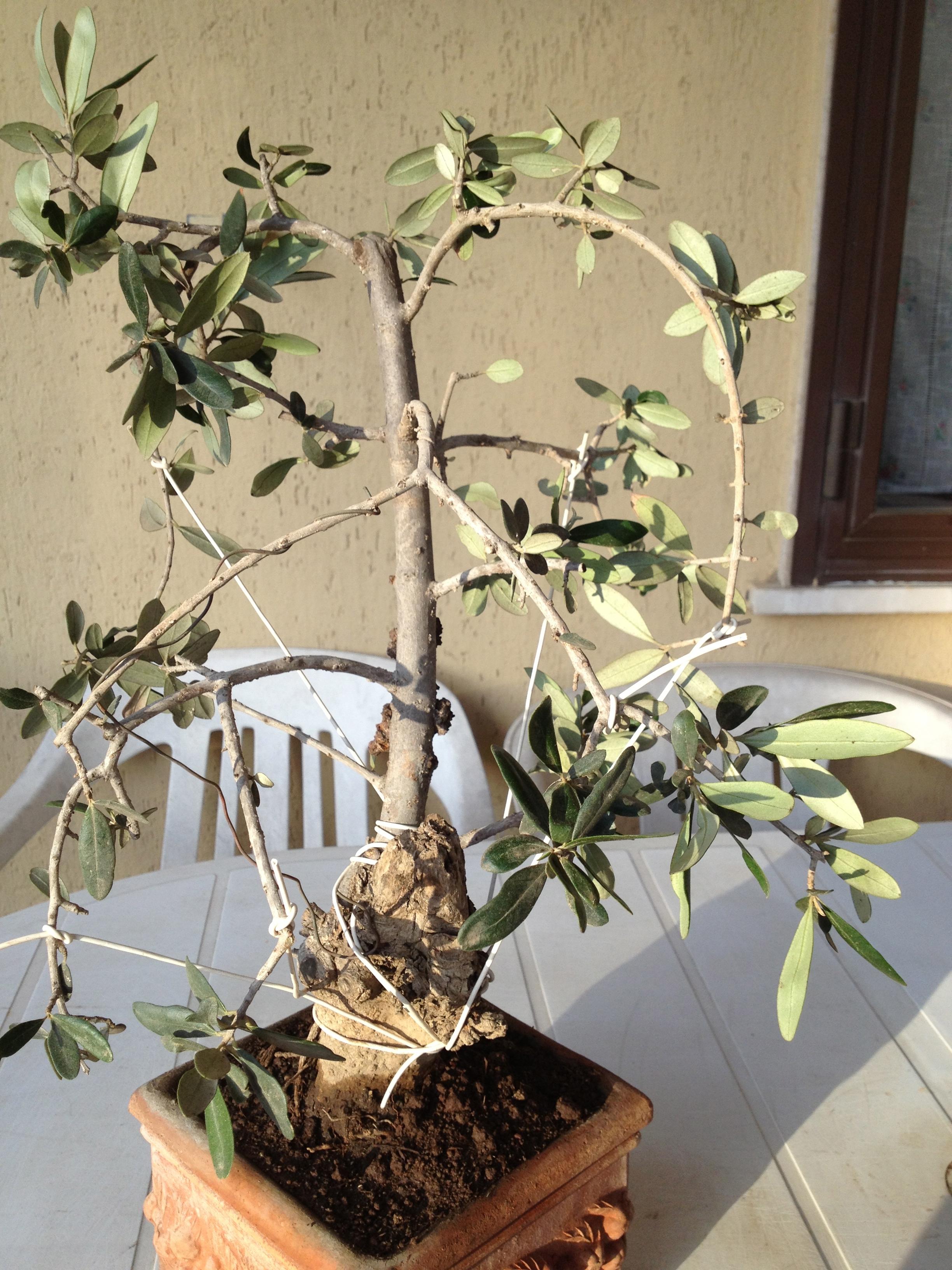 Pseudo bonsai olivo di 9anni aiuto per impostarlo for Bonsai olivo prezzi